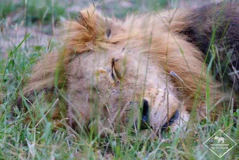 Lion qui dort, réserve de Manyeleti