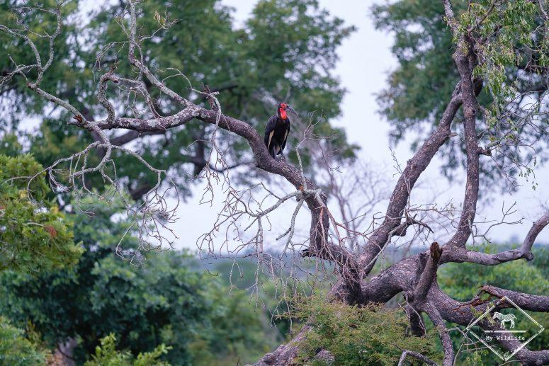 Bucorve du sud, réserve de Manyeleti