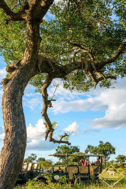 Léopards dans un arbre, réserve de Manyeleti
