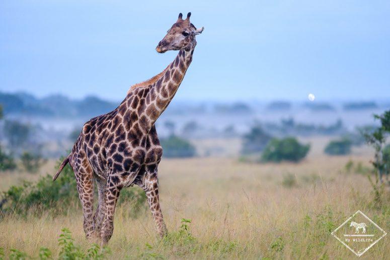 Girafe, réserve de Manyeleti