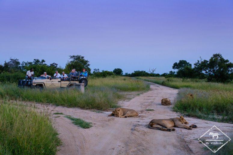 Lions, réserve de Manyeleti