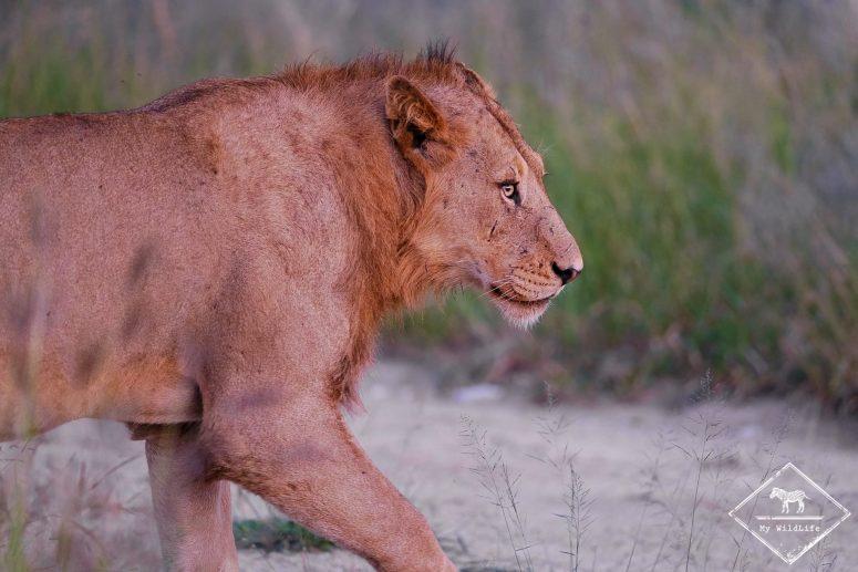 Lion, réserve de Manyeleti
