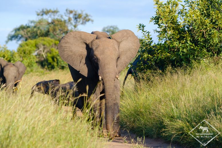 Safari dans la réserve de Manyeleti, éléphant