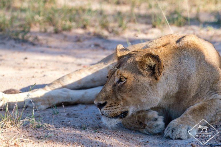 Lionne, réserve de Manyeleti