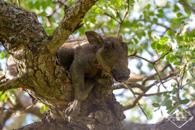 Phacochère tué par un léopard, réserve de Manyeleti