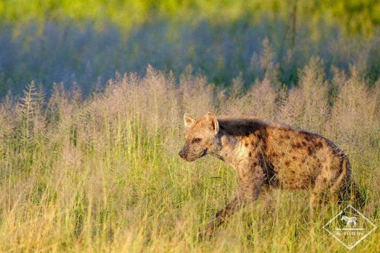 Hyène tachetée, réserve de Manyeleti