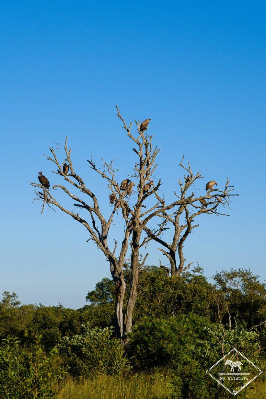 Vautours, réserve de Manyeleti