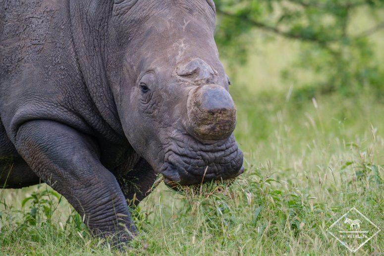 Rhinocéros blanc, réserve de Manyeleti