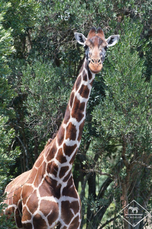 Girafe réticulée, Ol Pejeta Conservancy